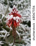 Small photo of Red flowers on Aloe Vera under snow. Aloe succotrina.