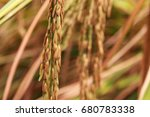 rice field  thailand  selective ... | Shutterstock . vector #680783338