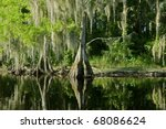 Bald Cypress Trees Reflecting...