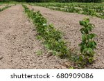 young sprouts of raspberry in... | Shutterstock . vector #680909086