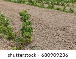 young sprouts of raspberry in... | Shutterstock . vector #680909236