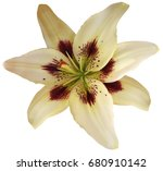 lily white yellow  flower... | Shutterstock . vector #680910142