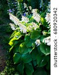 Blooming Big Hosta With White...