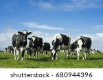 Stock photo cows in the netherlands 680944396