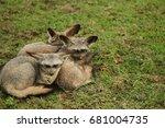 bat eared fox in serengeti | Shutterstock . vector #681004735