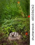Small photo of North American Badger (Taxidea taxus) Looks Out From Den - captive animal