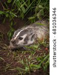 Small photo of North American Badger (Taxidea taxus) Snarls Close Up - captive animal