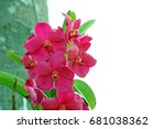 Small photo of Pink Vanda Orchid (Pink Orchid, Asian Flower look like Animal and Monster Face) with Blank Space