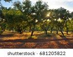 cork oak grove at sunset ... | Shutterstock . vector #681205822