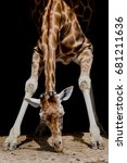 Small photo of Giraffe Bending down