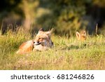 red foxes lie on grass | Shutterstock . vector #681246826
