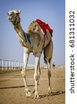 Small photo of Full body portrait with view from below of a white yellow camel with one hump on the track after the camel race finished in the desert in Saudi Arabia, Middle East.
