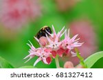 A Bumblebee Pollinates A Showy...