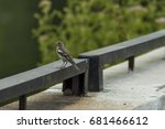 Sick Sparrow Bird On The Fence...