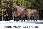 Two European Wild Brown Bison ...