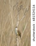Small photo of Reed warbler, Acrocephalus schoenobaenus