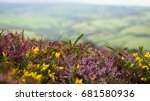 Purple Heather And Yellow Gors...