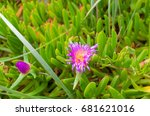 Angular Sea Fig  Pigface ...