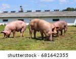Group Of Pigs Farming Raising...