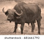 birds cleaning a buffalo at the ... | Shutterstock . vector #681661792