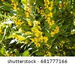 laurus nobilis   laurel on... | Shutterstock . vector #681777166