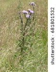 Thistle  Asteraceae  With...