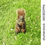 Small photo of Closeup American Red Squirrel Sitting Upright in a New York City Park