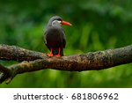 Stock photo black inca tern red bill peru inca tern larosterna inca bird on the tree branch tern from 681806962