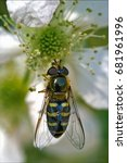 Small photo of side of wild fly diptera syrphidae volucella zonaria syrphus ribesii eristalis on a white yellow flower