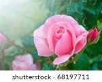 Stock photo beautiful pink rose with water droplets after rain in garden 68197711