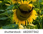 Black Oil Sunflower In A Field...