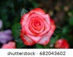 Stock photo rose 682043602