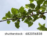 leaves of the tree mulberry in... | Shutterstock . vector #682056838