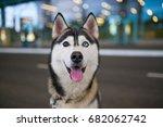 Portrait Of Funny Husky Dog...
