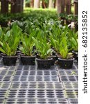 rows of young growth plant in... | Shutterstock . vector #682135852