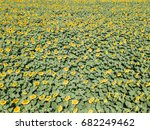 aerial drone view of sunflower... | Shutterstock . vector #682249462