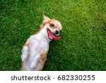 Stock photo chihuahua dog lying on the lawn 682330255