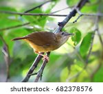 Small photo of Abbott's Babbler, a song bird, perching on small branch looking for small insect and worm beneath leaves in Asian tropical rainforest. Lovely wild animal in natural habitat, nature green background.