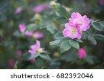 wild rose. | Shutterstock . vector #682392046