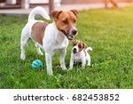 Stock photo jack russell dogs playing on grass meadow puppy and adult dog outside in the park summer 682453852