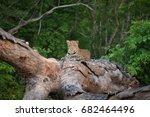 A Leopard Rests On A Fallen...