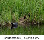 Black Duck  Coot  With...