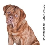 Drawing Dog Portrait On A White ...