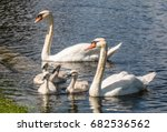 mute swan family with the two... | Shutterstock . vector #682536562