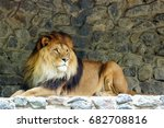 Lion With Big Mane Lies At...