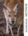 closeup head of red kangaroo ... | Shutterstock . vector #682709638