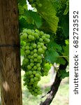 Small photo of Grapes Riesling in Alsace (France)