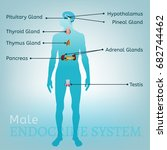 male endocrine system. human... | Shutterstock .eps vector #682744462