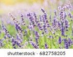 lavender flower blooming...   Shutterstock . vector #682758205