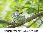 Hummingbird Babies In A Nest